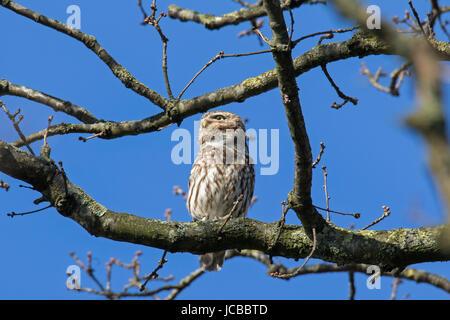 Steinkauz (Athene Noctua) thront im Baum im Frühling - Stockfoto