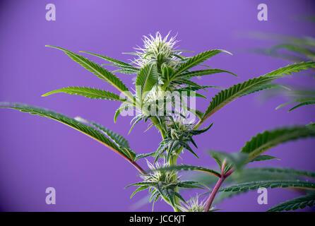 Cannabis Blume (Thousand Oaks-Stamm) - blühende Pflanze mit frühen ...