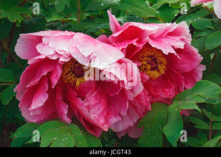 japanische baum pfingstrose paeonia suffruticosa tamafuyo ein blumengesch ft stockfoto bild. Black Bedroom Furniture Sets. Home Design Ideas