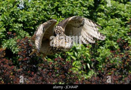 Eurasische Adler-Eule (Bubo Bubo) im Flug. - Stockfoto