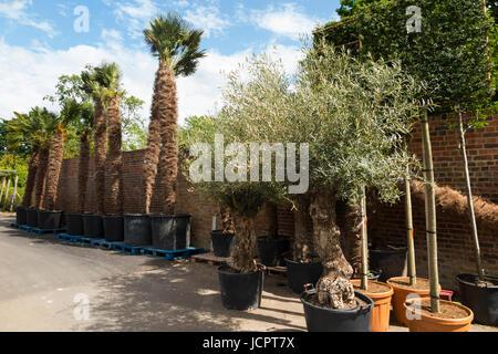 Alte alte Olivenbäume / Oliven / Olivenöl Pflanzen in Töpfen zum Verkauf & angezeigt / auf dem Display an der Palm - Stockfoto