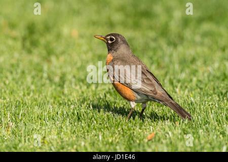 Robin auf Nahrungssuche in grüne Rasenfläche. - Stockfoto