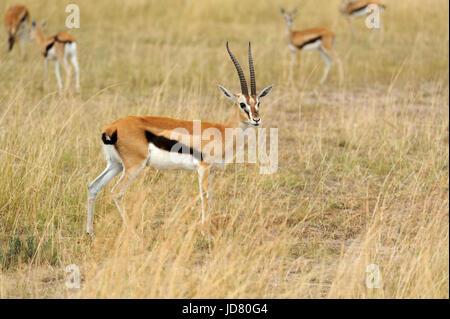 Thomson es Gazelle auf Savannen im Nationalpark Afrikas - Stockfoto