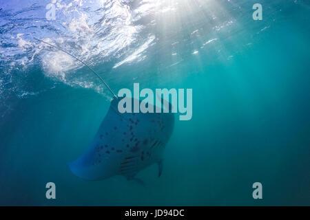 Manta Ray im Indischen Ozean - Malediven. Unterwasser Meerestiere, Unterwasser Tiere - Stockfoto