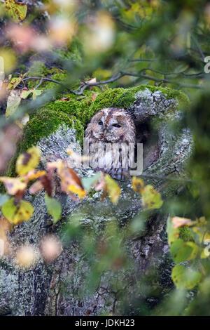 Waldkauz sitzt in einem Baum-Höhle zwischen Waldkauz Sitzt in Einer Baumhöhle Zwischen Herbstlaub, Herbstlaub, Strix - Stockfoto