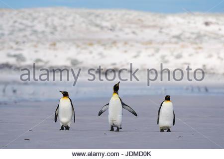 Drei König Penguins, Aptenodytes Patagonica, zu Fuß auf Volunteer Point Beach. - Stockfoto