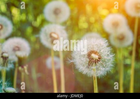 Der Löwenzahn Blowballs unter Sonne Flares sind Samen Windrichtung startbereit. - Stockfoto