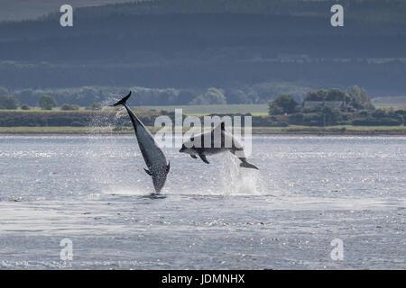 Zwei gemeinsame Tümmler, Tursiops Truncatus, Verletzung unisono am Chanonry Point, Black Isle, Moray Firth, Schottland, Vereinigtes Königreich