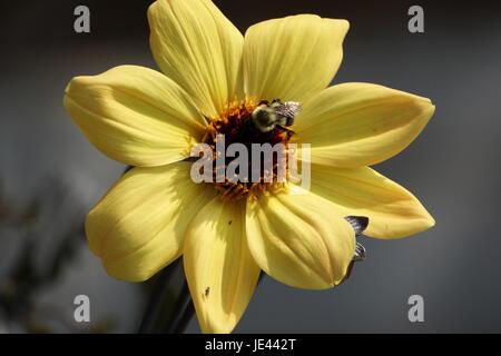 In der Nähe von Biene bestäubt Gelbe Blume - Stockfoto