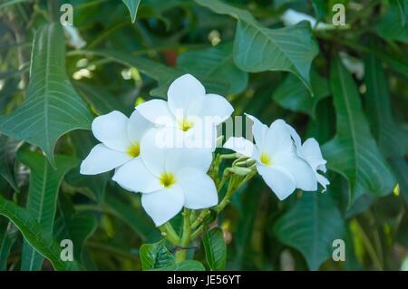 Schönen weißen Blüten und frischen Namen Plumeria Pudica, Ausdauer ...