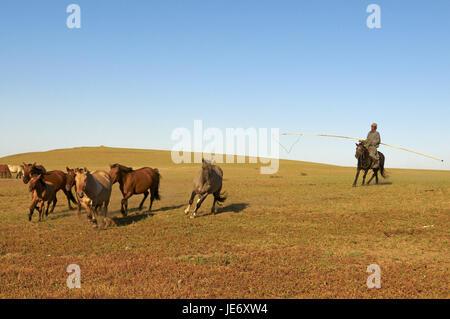 Mongolei, Zentralasien, Provinz Arkhangai, Nomad, Mann fallen Pferde mit der Urga, - Stockfoto