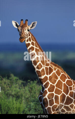 Netzwerk-Giraffe, Giraffe Giraffa Reticulata, erwachsenes Tier, Porträt, Samburu Park, Kenia, - Stockfoto