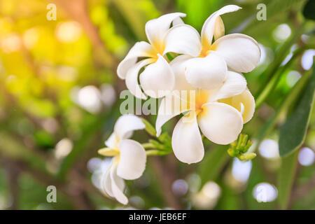 Plumeria Blumen auf Bokeh Hintergrund, schöne Blumen im Garten ...
