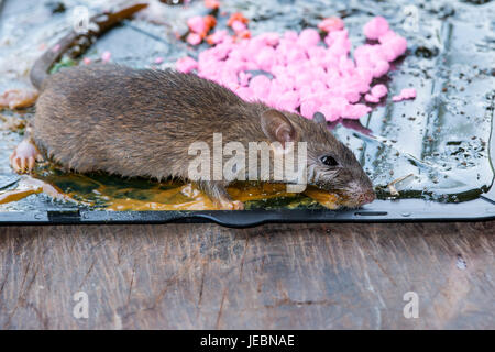 ratten auf stick kleben mausefalle im haus stockfoto bild 138272053 alamy. Black Bedroom Furniture Sets. Home Design Ideas