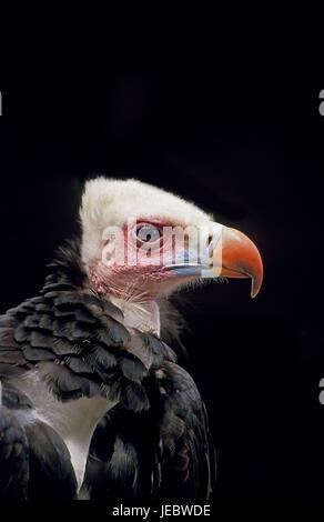 Wolle Kopf Geier Trigonoceps Occipitalis, Porträt, - Stockfoto