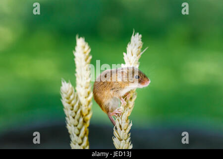 Britische Tierwelt: eurasischen Zwergmaus (Micromys Minutus) klettern auf einem Ohr Weizen, British Wildlife Centre, - Stockfoto