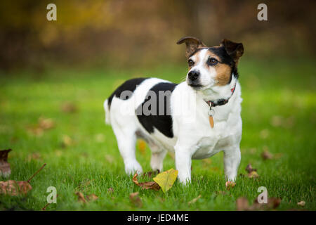 Jack Russell stehend in Autumn Leaves - Stockfoto
