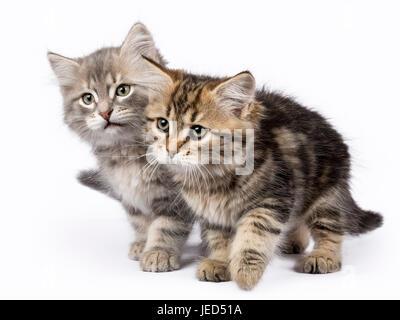Zwei Sibirische Waldkatze/Kätzchen spielen auf weißen Hintergrund islolated Bewegen auf der Seite - Stockfoto