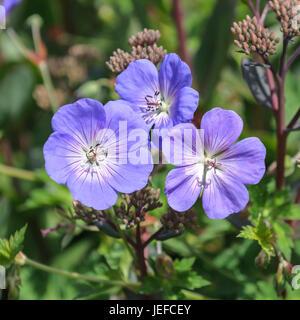 Storch Schnabel, Geranium ROZANNE Storchschnabel (Geranium ROZANNE) - Stockfoto