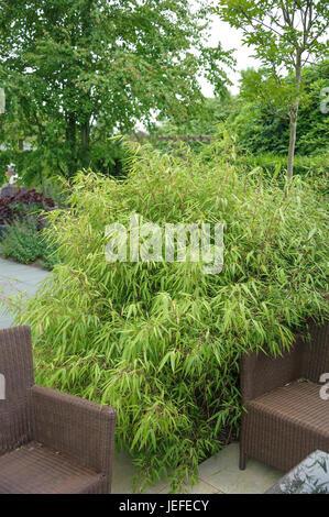 muriels bildschirm bambus fargesia murieliae wirklich. Black Bedroom Furniture Sets. Home Design Ideas