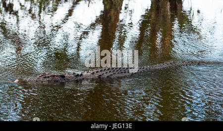 Salzwasser-Krokodil in Kakadu, Northern Territory, Australien - Stockfoto