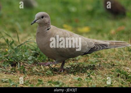 Taube in einem Garten spazieren - Stockfoto