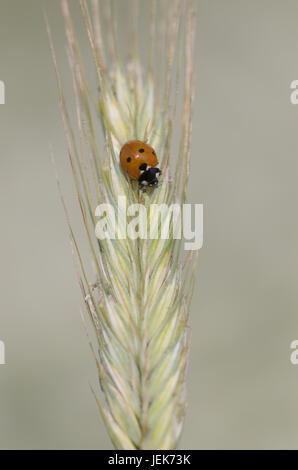 7-Punkt Marienkäfer Coccinella septempunctata - Stockfoto
