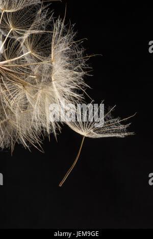 Extreme Nahaufnahme und Abstraktion mit sehr flachen Abteilung des Feldes der Löwenzahn Samen schwarzer Hintergrund, - Stockfoto