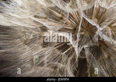 Extreme Nahaufnahme von Löwenzahnsamen - Stockfoto