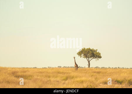 Giraffe stehend von einem Baum in der Savanne, Kenia - Stockfoto