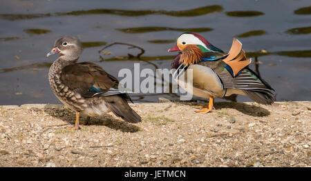 Mandarin-Enten, männlich und weiblich, (Aix Galericulata) stehen an der Seite des Eyeworth Teich im New Forest, Hampshire, England, Vereinigtes Königreich Stockfoto