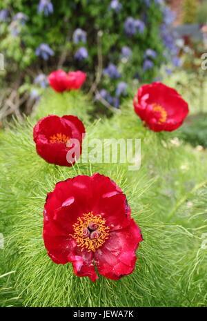 Paeonia Tenuifolia, auch genannt 'Farn Blatt Pfingstrose', Blüte in der Grenze von einem englischen Garten Ende - Stockfoto