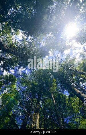 Künstlerisches Bild des hohen Douglasie Wald Baum tops über blauer Himmel mit einer hellen Sonne Blendung kommenden - Stockfoto