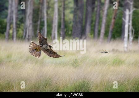 Zusammengesetztes Bild der Hobby Falke (Falco Subbuteo) fliegen Jagd jagen Kaiser Libelle Darstellung gegen Kiefern - Stockfoto