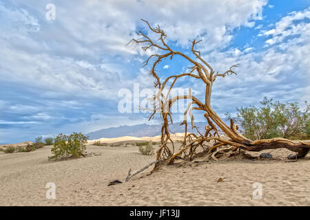 Baum in Mesquite flache Sanddünen im Death Valley in Kalifornien - Stockfoto