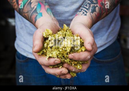 Nahaufnahme einer Person in einer Brauerei stehen, halten einige Hopfen, tätowierten Arme. - Stockfoto