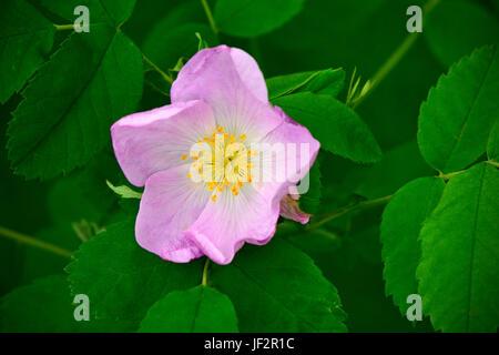 wilder rosenbusch rosa acicularis im herbst farbe yoho nationalpark alberta stockfoto bild. Black Bedroom Furniture Sets. Home Design Ideas