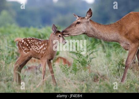 Rothirsch (Cervus Elaphus) weibliche Hinterbeine Mutter und junges Baby Kalb mit einer zarten Verklebung moment - Stockfoto
