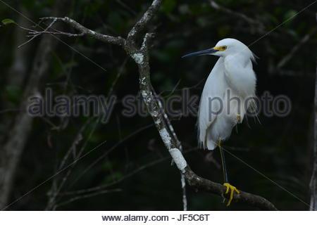 Porträt einer Snowy Egret hocken auf einem Ast. - Stockfoto