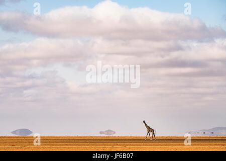 Giraffe im Kitirua Conservancy, in der Nähe von Amboseli Park, Kenia. - Stockfoto