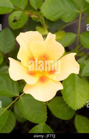 """Neu eröffnete red eyed gelbe Blume des persischen rose Hybrid, Rosa Persica """"Bullseye"""".  Blumen werden in Rosatönen - Stockfoto"""