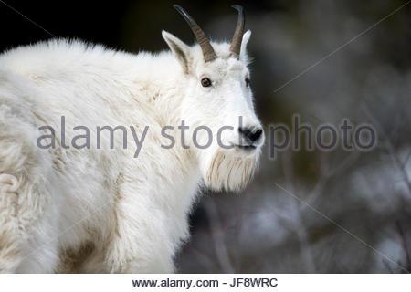 Porträt von Bergziege, Oreamnos Americanus, innehalten und zurückblicken. - Stockfoto