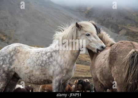 Islandpferde miteinander pflegen - Stockfoto