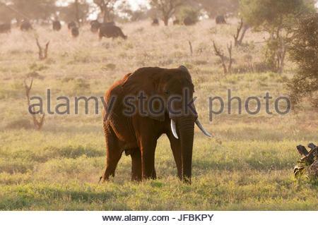 Ein afrikanischer Elefant Loxodonta Africana, bei Sonnenaufgang. Afrikanischer Büffel grasen in der Ferne. - Stockfoto
