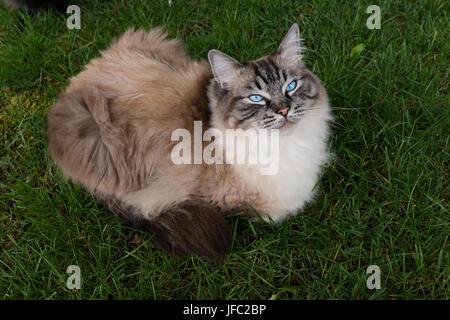 Seal Lynx Point Ragdoll Katze auf Grass Outdoor Portrait. - Stockfoto