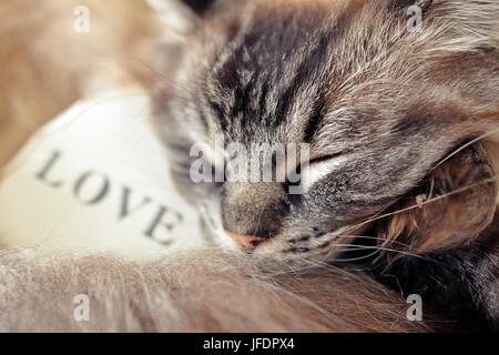 Ragdoll Katze schlafen mit einem weißen Herz aus Holz mit dem Text Liebe schrieb über sie. - Stockfoto