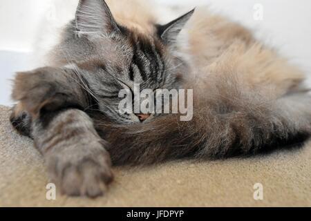 Schlafende Rassekatze Ragdoll - Stockfoto