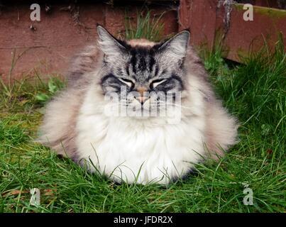 (Seal Lynx Tabby) Ragdoll Katze schläft im freien Portrait. - Stockfoto