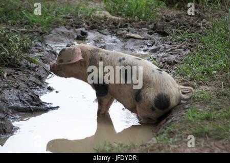 Schwein in eine Pfütze - Stockfoto