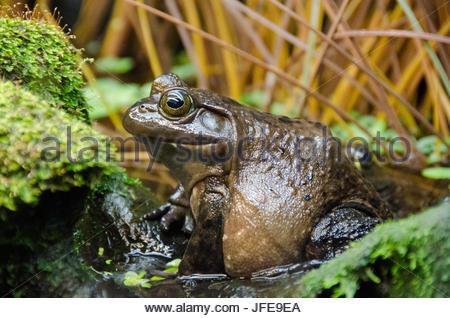 Amerikanischer Ochsenfrosch, Lithobates Catesbeianus, in einer grünen Umgebung. - Stockfoto
